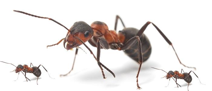 Ant Control Belair
