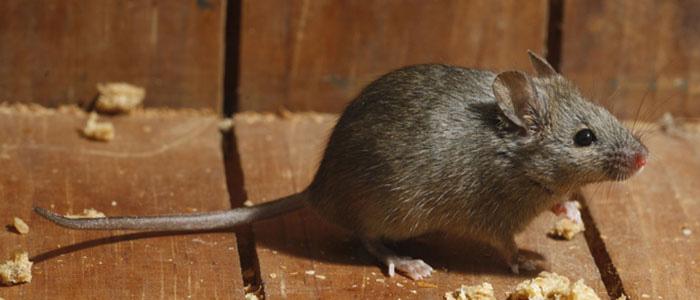 Rodent Control Belair