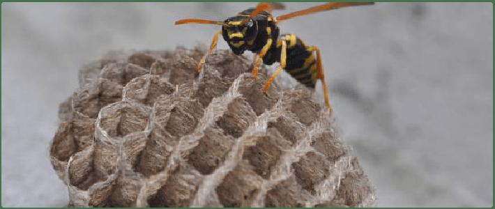 Wasp Control Belair